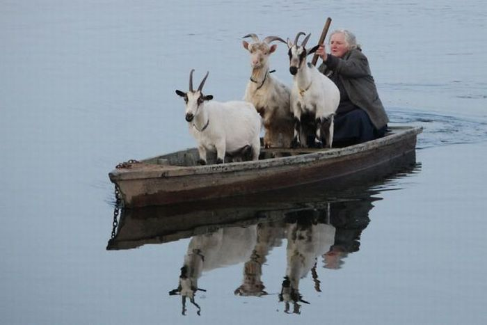 Goats In Weird Places - Goats On A Boat