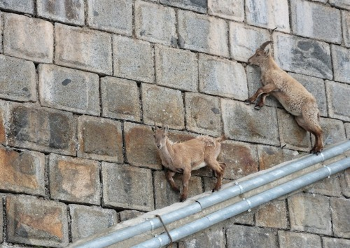Goats In Weird Places - Goats On A Pipe