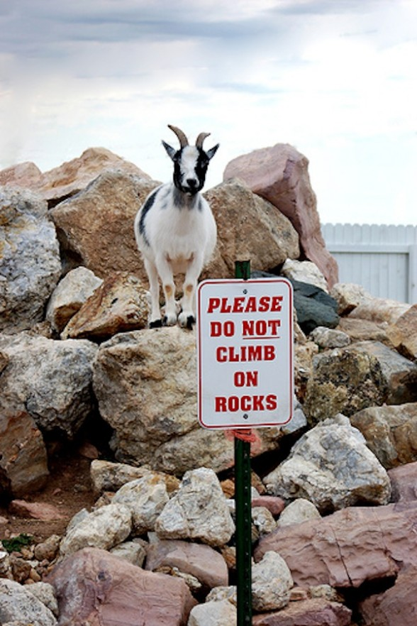 Goats In Weird Places - Goats On A Rock