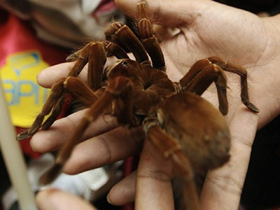 Goliath Birdeater - Bird Eating Spider - In Adults Hands