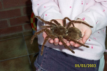 Goliath Birdeater - Bird Eating Spider - In Childs Hands