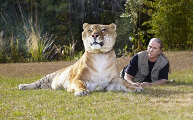 Hercules - Liger - Guiness World Record - Biggest Cat - with keeper