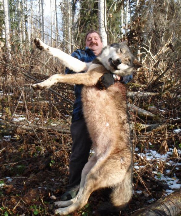 How Big Tall Is A Wolf - Hunters - Canada