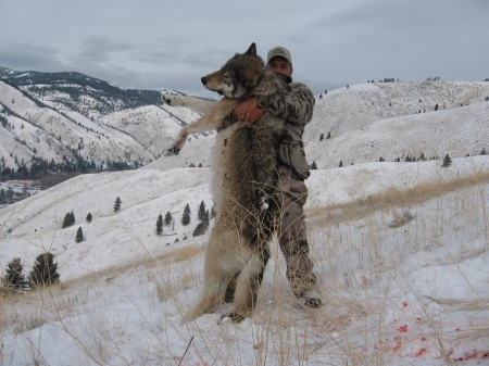 How Big Tall Is A Wolf - Hunters Mexican Gray Wolf