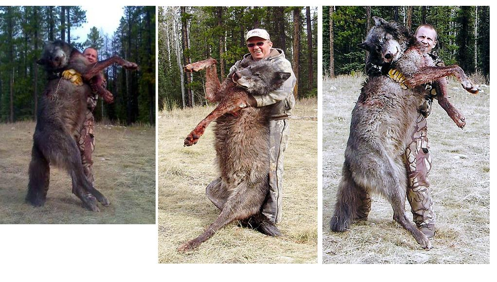 How Big Tall Is A Wolf - Hunters caught one