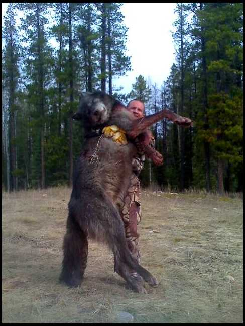 How Big Tall Is A Wolf - Hunters - drayton valley Alberta