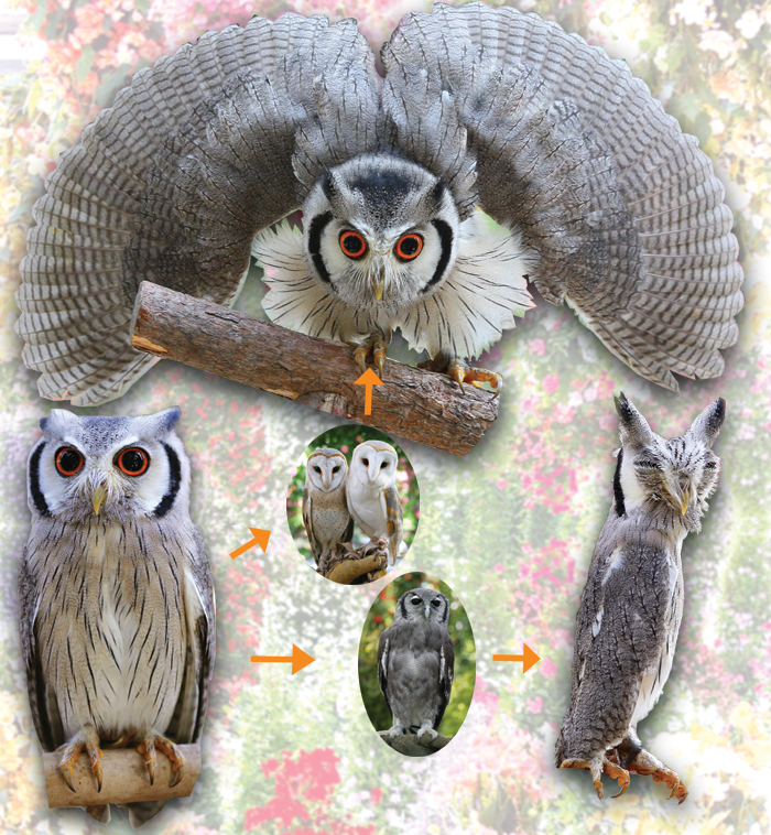 Northern White Faced Owl - Transformer Owl Video - Chart