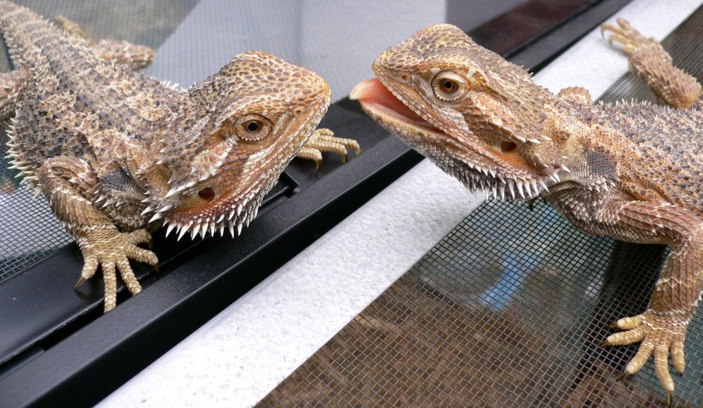 Video of Bearded Dragon Lizards Waving viral