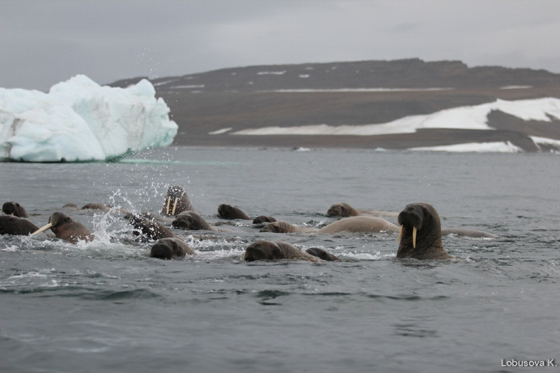 Arctic Voyage  - 2013 - Photo Collection - Walrus