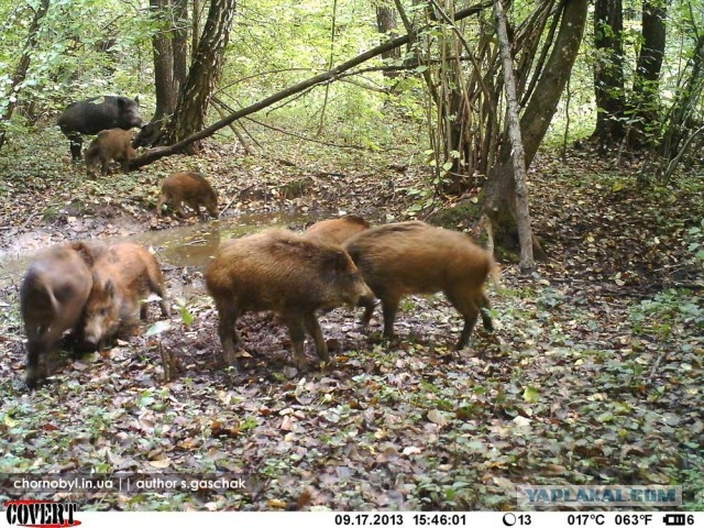 Chernobyl - Prypiat - Wildlife - Radioactive - Boar