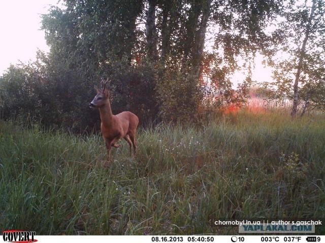 Chernobyl - Prypiat - Wildlife - Radioactive - Deer