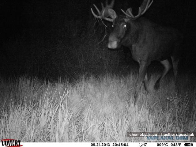 Chernobyl - Prypiat - Wildlife - Radioactive - Elk 2