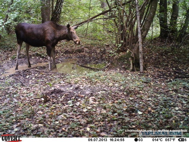 Chernobyl - Prypiat - Wildlife - Radioactive - Elk