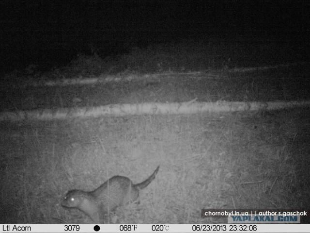 Chernobyl - Prypiat - Wildlife - Radioactive - Otter