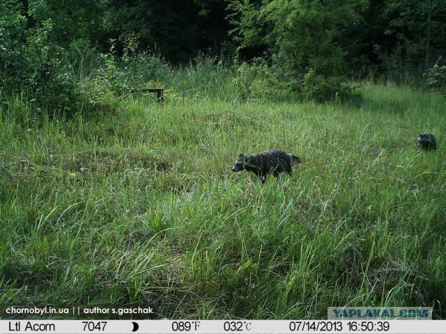 Chernobyl - Prypiat - Wildlife - Radioactive - Raccoon Dog