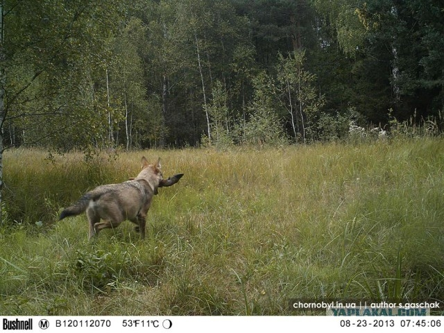 Chernobyl - Prypiat - Wildlife - Radioactive - Wolf With Deer Leg