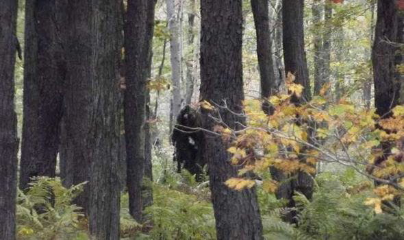 New Yeti Sighting - Big Foot - Sasquatch - Pennsylvania - Stoneman - Forest 2