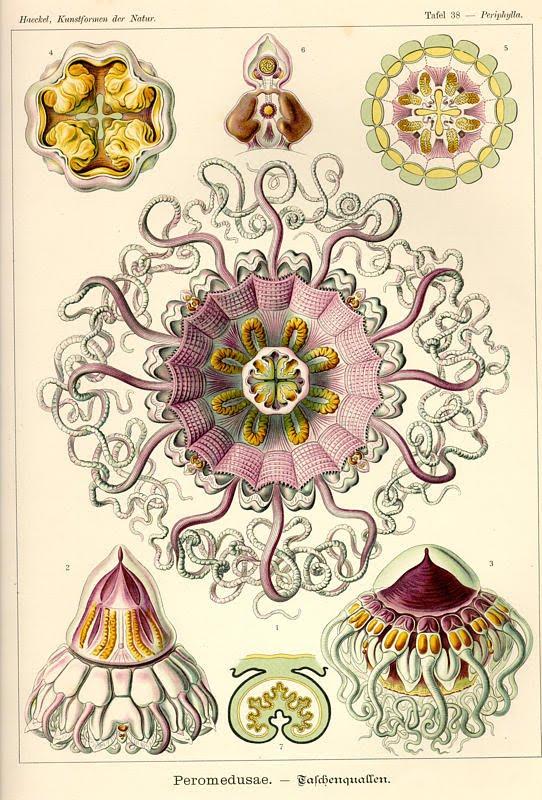 Amazing Beautiful Old Biology Science Drawings - 1904 by Ernst Haeckel - Peromedusae