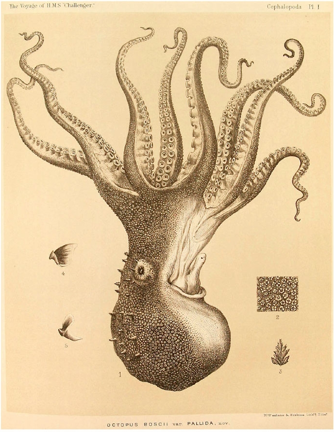 Amazing Beautiful Old Biology Science Drawings - Cephalapoda collected by H.M.S. Challenger 1873-76 - Octopus Boscii