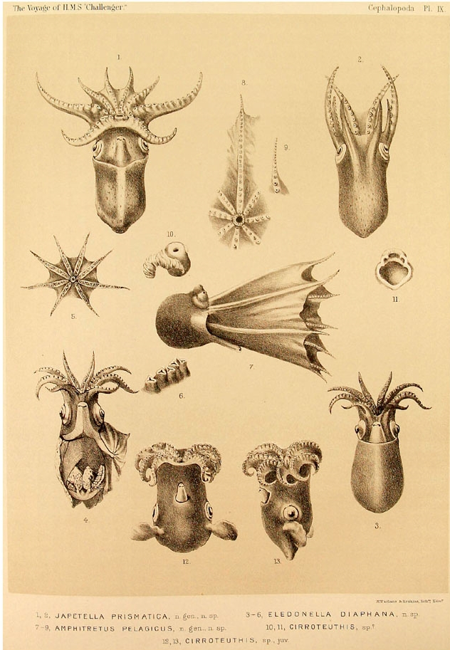 Amazing Beautiful Old Biology Science Drawings - Cephalapoda collected by H.M.S. Challenger 1873-76 - Selection