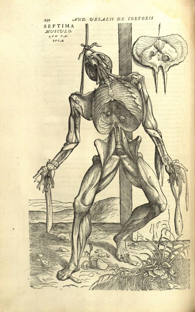 Amazing Beautiful Old Biology Science Drawings - Vesalius's Fabrica - Septino Musculu