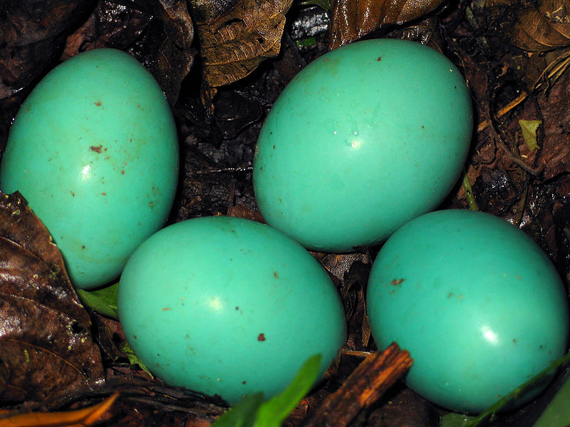 Birds of Guatemala - Great Tinamou - clutch of eggs