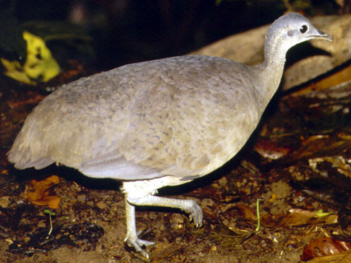 Birds of Guatemala - Great Tinamou