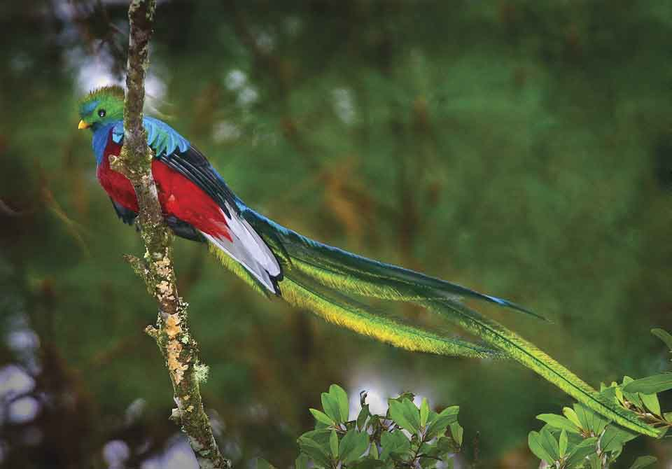 Birds of Guatemala - Resplendent Quetzal - Male 3