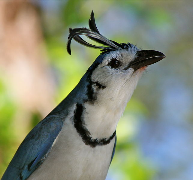 Birds of Guatemala - White-throated Magpie-Jay head