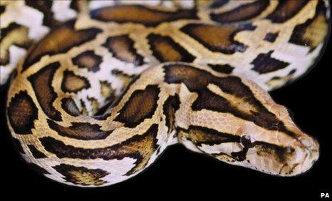 Burma - Myanamar - Wildlife - Burmese Python