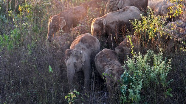 Burma - Myanamar - Wildlife - Elephants