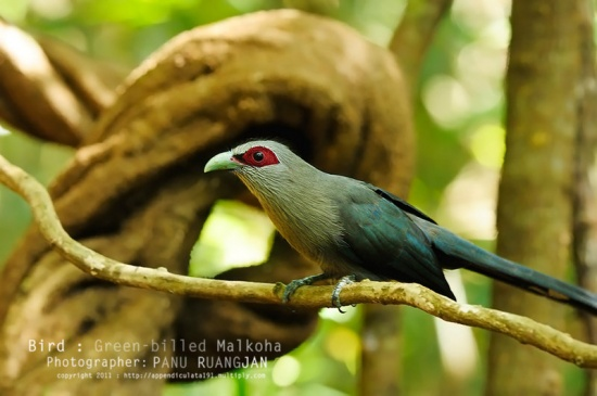 Burma - Myanamar - Wildlife - Green Billed Malkoha