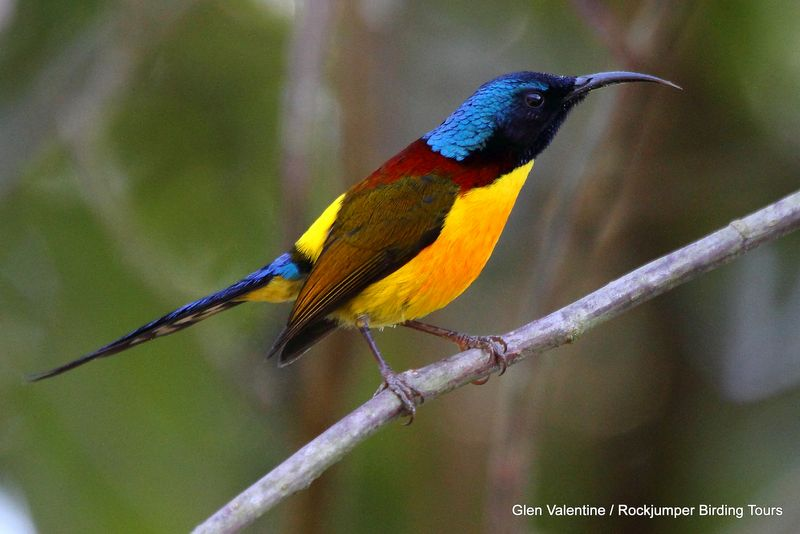 Burma - Myanamar - Wildlife - Green Tailed Sunbird