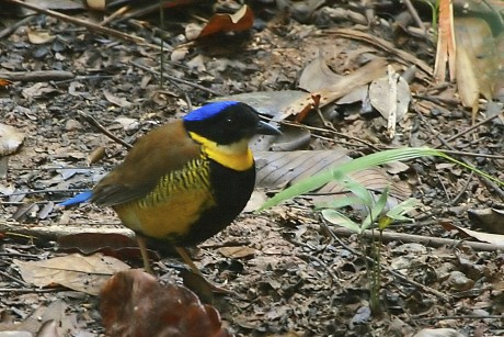 Burma - Myanamar - Wildlife - Gurney's Pitta bird