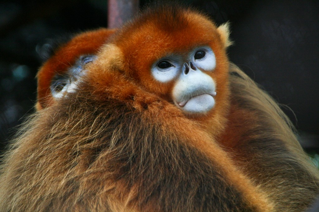 Burma - Myanamar - Wildlife - Sneezing Snub Nosed Monkey