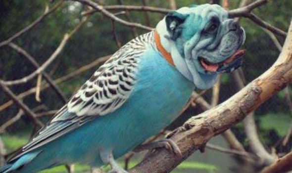 Dirds - Internet Craze - Viral Meme - Bull Dog Parrot