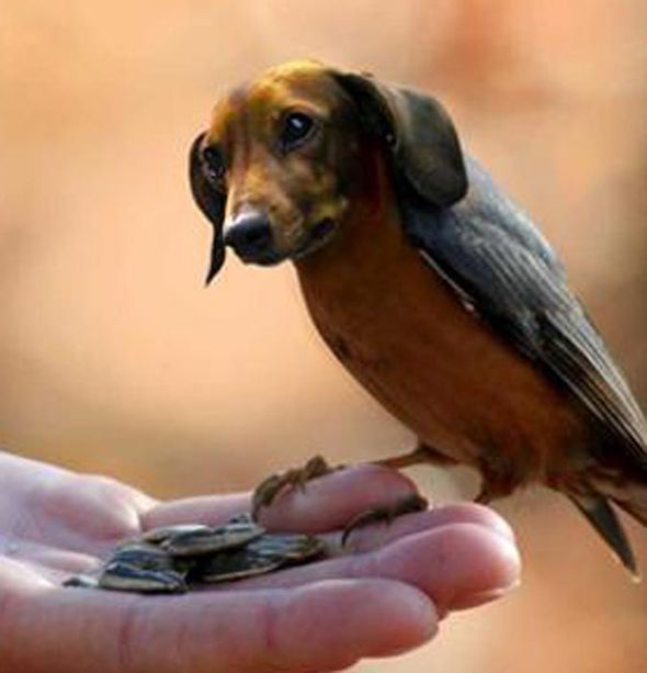 Dirds - Internet Craze - Viral Meme - Dachshund bird