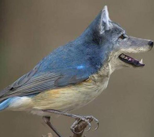 Dirds - Internet Craze - Viral Meme - Wolf Blue tit