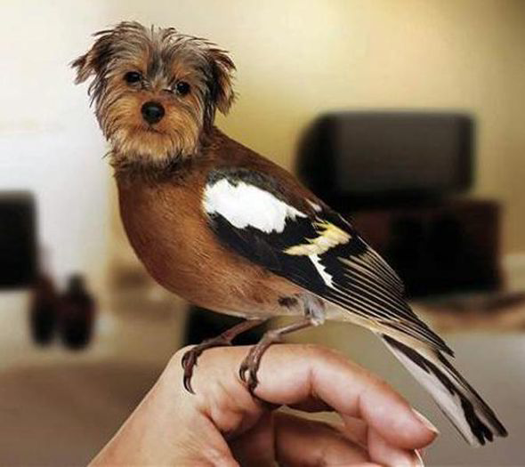 Dirds - Internet Craze - Viral Meme - Yorkie Chaffinch