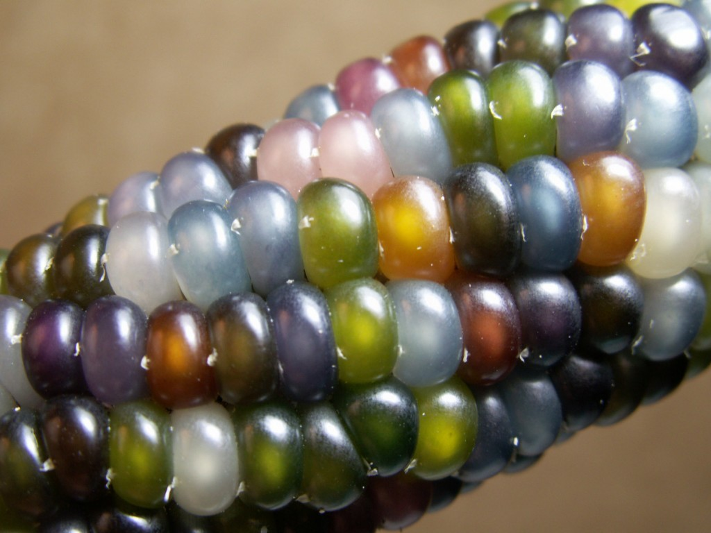 Glass Gem Corn - Close Up