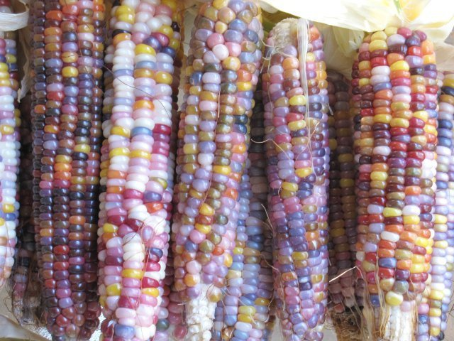 Glass Gem Corn - Unfurled