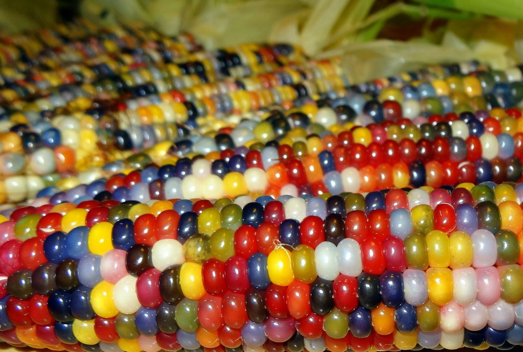 Glass Gem Corn - bright coloured corn kernels