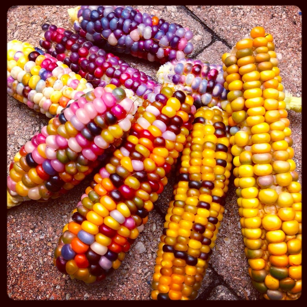 Glass Gem Corn - collection