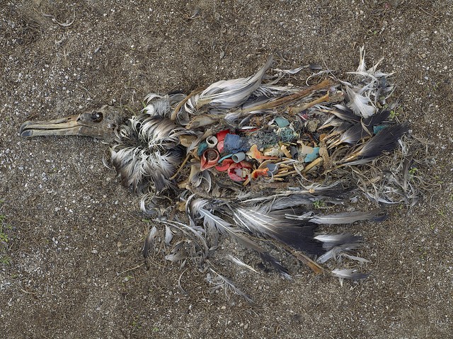 Great Pacific Garbage Patch - Pacific Trash Vortex - Dead Bird 3