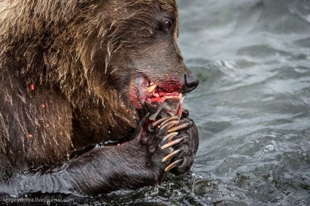 Kamchatka - Bears Fishing]