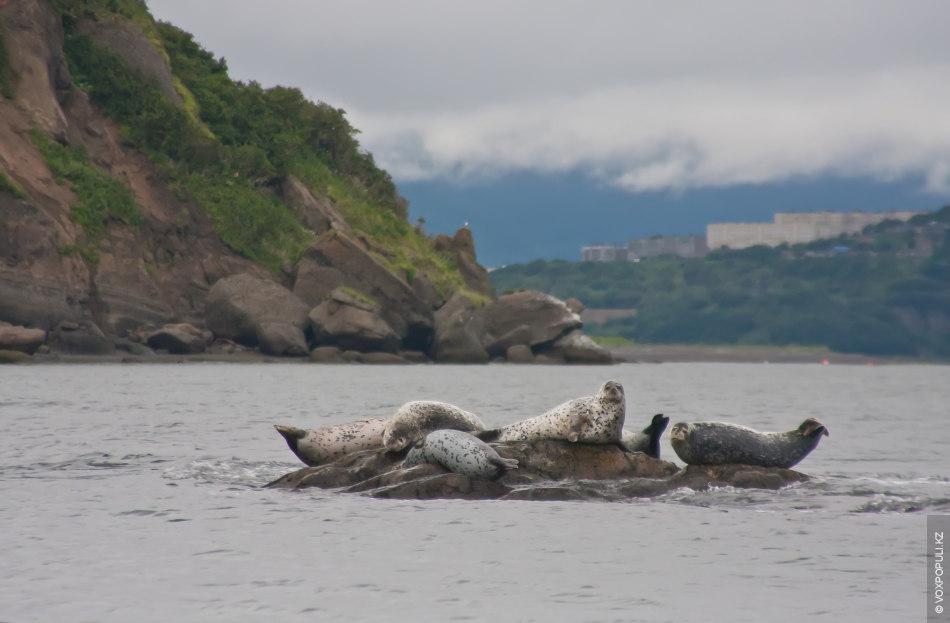Kamchatka - Seals