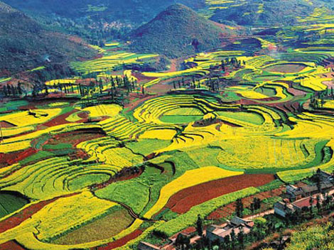 Ocean of flowers - Luoping - China - Steps 2