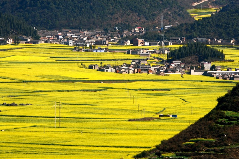 Ocean of flowers - Luoping - China - Yunnan