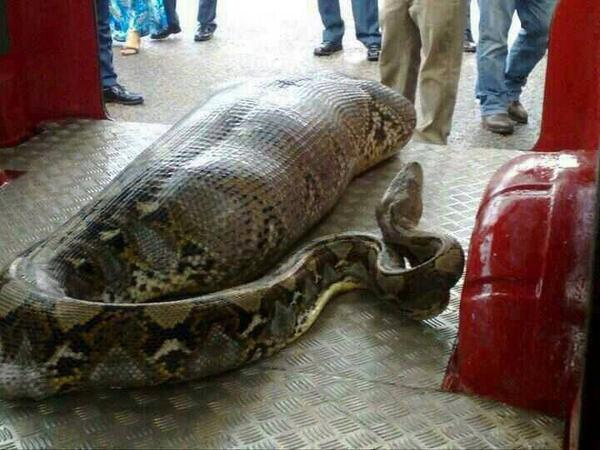 Snake eats drunk man in india