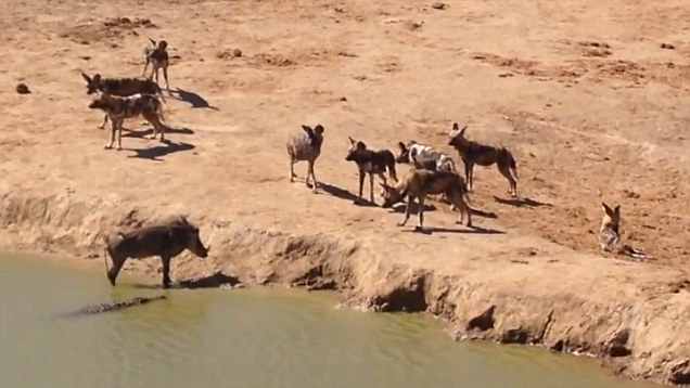 Warthog Vs Wild Dogs And Crocodile